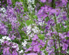 A field of lavender wildflowers near Ada Covered Bridge in Ada, Michigan