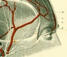 1897 Voûte crânienne vaisseaux et nerfs Planche Originale Anatomie Chirurgie P. Tillaux Aponévrose Artère méningée Apophyse Dure-mère