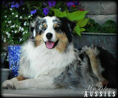 #australianshepherds these dogs though>>>>