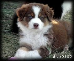 Australian Shepherd Red Tri Puppy crossing paws