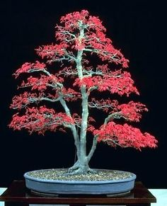 9GreenBox Japanese Red Maple 'Bamboo Leaf' - 5 Seeds by 9GreenBox, http://www.amazon.ca/dp/B000SKS8JM/ref=cm_sw_r_pi_dp_kWuqtb0DSCDP9