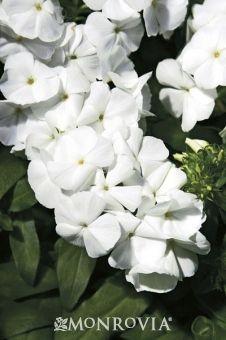 """Minnie Pearl Phlox (Phlox x 'Minnie Pearl') - Monrovia - 12"""" x 24"""" - fragrant - attracts hummingbirds & butterflies"""