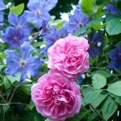 flamboyant mixture of Rosa Gertrude Jekyll (another delicious scent) with Clematis Perle D'Azur. Clematis Plants, Clematis Vine, Garden Plants, Fruit Garden, House Plants, Rare Flowers, Beautiful Flowers, Exotic Flowers, Purple Flowers