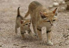 chat-des-sables. sand cat