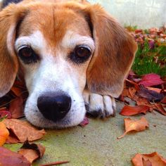 Old beagles are still cute beagles....this one looks like my little Abby used to look. RIP Peanut xo Everything you need to know about beagles #beagle