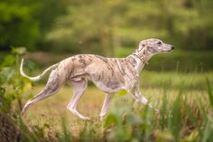 Whippet. By Armin Hauke.