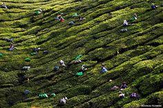 Tea pickers at work on the tea plantations of Munnar, in the Western Ghats of Kerala, India. Photo: © Dariusz Klemens