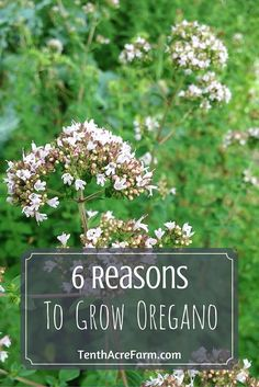 Oregano is one of the most popular herbs to grow in an herb garden. Here are six reasons why you should add oregano to your garden.