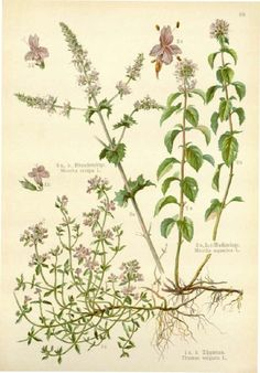 Thyme and other herbs Stock Photo, Royalty Free Image: 50254424 - Alamy Illustration Botanique, Plant Illustration, Botanical Drawings, Botanical Prints, Éphémères Vintage, Thyme Plant, Flower Catalogs, Impressions Botaniques, Fruit Art