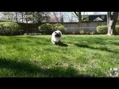 Ragdoll Cats Charlie and Trigg Outside on Beautiful Spring Day ねこ - ラグドール - = ネコ - ねこ- Floppycats https://youtu.be/EatqUEsuyXo