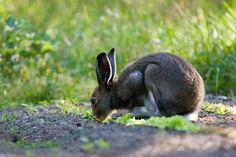 Metsäjänis - lepus timidus - a hare. Very common in Finland.