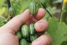 Heb je ooit gehoord van CUCAMELONS? Ziet eruit als mini-watermeloenen, smaakt naar komkommer met een vleugje limoen. Gemakkelijk te kweken - zelfs voor beginners. Goed artikel over hoe ze te bereiden en te eten via de link.