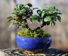 Still a work in progress, this is the micro-mini 'Kissaway Trail' shown here planted into a tiny bonsai pot.  I need to hunt up a finer, smaller moss that is better to scale and add a small stone for interest.  The pot opening measures 2 inches wide.