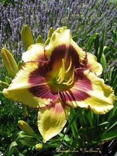 View picture of Daylily 'Desperado Love' (Hemerocallis) at Dave's Garden.  All pictures are contributed by our community.