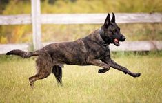 Dutch Shepherd Puppy, Shepherd Puppies, Dog Kennel Designs, Dog Playground, Life Is Ruff, Dog Agility, Service Dogs, Working Dogs, Dog Behavior