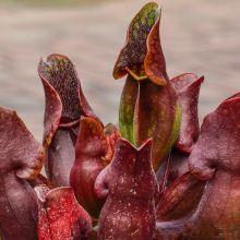Sarracenia,Pitcher Plant,Pitcher Plant, buy Pitcher Plants for sale