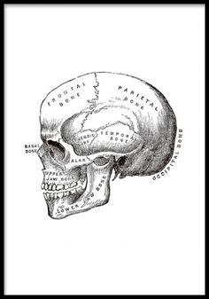Poster med gammal illustration av kranium / skull från 1800-talet. Våra posters trycks på ett matt obestruket papper.