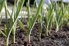 Slut med at købe hvidløg – her er tricket til at dyrke et udendeligt lager hjemme | Newsner
