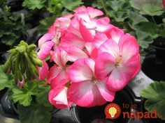 Pale pink Geranium a beautiful flower! Customer Service Jobs, Work For Hire, Pink Geranium, Work From Home Moms, Beautiful Flowers, Flora, Rose, Nature, Plants