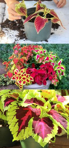 Detailed guide on how to grow healthy Coleus: sun, shade, water, and soil requirements, and how to propagate Coleus from cuttings easily in 2 ways! Plus beautiful Coleus varieties and inspirations on how to use them in a garden. - A Piece of Rainbow Container Plants, Container Gardening, Coleus Care, Propagating Hydrangeas, Garden Wallpaper, Comment Planter, Fall Containers, Fall Planters, Outdoor Planters