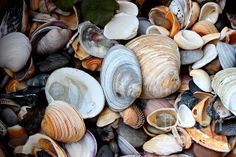 Seashells Photograph by Joseph and Felicia Headrick - Seashells Fine Art Prints and Posters for Sale