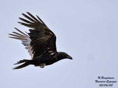 gd-corbeau-vol-nb2.jpg 400×300 pixels