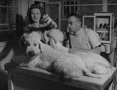 Greer Garson deodorizes her poodles while at the Vet's on vacation 1949    Google Image Result for http://pic80.picturetrail.com/VOL1935/12012169/21399866/351790280.jpg