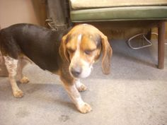 #OHIO #GassingShelter ~ ID 6 STRAY AVAIL. 2-10-14 ( 6 + YRS ) is a Beagle in need of a loving #adopter / #rescue at the CARROLL COUNTY DOG POUND 2185 Kensington Rd NE Route 9  #Carrollton OH 44615 Ph 330-627-4244