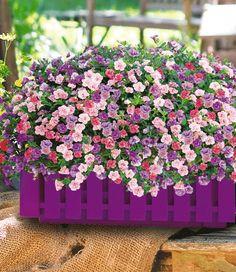 """3 Töpfe Trixi® """"Pink Petticoat"""" und 1 Landhauskasten """"Violett"""