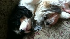 Awwww. Brotherly love!!!!!! Aren't my dogs adorable!!!!
