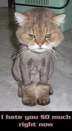 funny shaved cat cats kitten kittens kitties kittie kitty