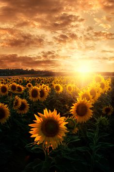 Flowers Photography Wallpaper Beauty Wallpapers Ideas For 2019 Sunflower Iphone Wallpaper, Paper Sunflowers, Sunflower Pictures, Flower Aesthetic, Sun Aesthetic, Aesthetic Yellow, Aesthetic Vintage, Nature Wallpaper, Wallpaper Wallpapers