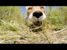 This Jerk Fox Steals and Eats a GoPro