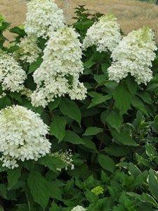 Hydrangea Pan tardiva (white flower) 3 gallon, 3 front beds