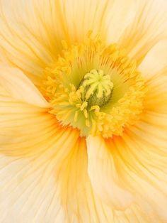 yellow poppy macro