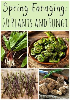 Herbal Medicine What to Forage in Spring: 20 Edible and Medicinal Plants and Fungi - Spring is a great time for foraging! Learn what to forage in spring with this list of 20 edible and medicinal plants and fungi. Spring foraging is fun! Healing Herbs, Medicinal Plants, Natural Medicine, Herbal Medicine, Edible Wild Plants, Wild Edibles, Survival Food, Edible Flowers, Chefs