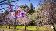 Digital Product Thumbnail - Spring in Madrid at Quinta de Molinos Almonds Park Spring Photography, Top Travel Destinations, Travel Images, Almonds, Madrid, Royalty, Park, Digital, Plants