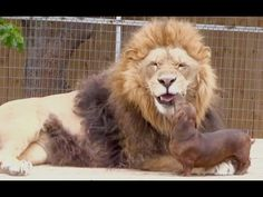 A disabled lion and a miniature sausage dog have become unlikely best friends. Bonedigger, a five-year old male lion, and Milo, a seven-year old Dachshund, have been inseparable ever since the. Unusual Animal Friendships, Unlikely Animal Friends, Unusual Animals, Best Friend Gifs, Dog Best Friend, Dog Friends, Dachshund Puppies, Dogs And Puppies, Dachshunds