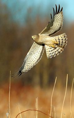 Bokeh ~ Northern Harrier Banking by William Jobes