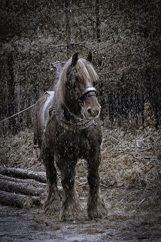 A Belgian draft horse logging in the woods.  Such gorgeous animals! I love seeing the draft horses on the harness pulling Budweiser beer wagons in parades sometimes in the USA :) and they may be Brabants ? too ?