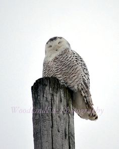 White Owl Snow Owl Winter Nature Photography by WoodlandFae, $30.00