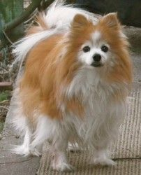 TOBY is an adoptable Pomeranian Dog in Cranston, RI. Toby,a handsome, affectionate boy is still active at 12-13 years old. He has lived with dogs and cats. Toby is well loved by his family, but due to...