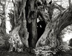 The Linton Yew/ Beth Moon