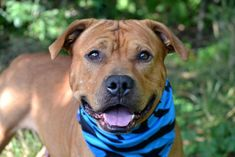 SHADOW - A0852945 (Alt ID A1035307) - - Staten Island  TO BE DESTROYED 01/31/16 Pay attention in order to help Shadow, because this mighty 102-pound boy needs a responsible rescue plan. Shadow is reported as being a rock star with people and a chum to other dogs his size, but his history with smaller animals is not a stellar one. In fact, Shadow still bears a wound left over from an incident with another dog in July of 2015. More sobering is this: his surrender notes detail
