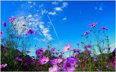 Field Flowers Wallpaper | field flowers wallpaper, free field of flowers wallpaper