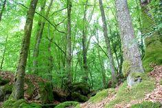 Les arbres (hêtres), l'eau... thèmes omniprésents dans les Monts d'Ambazac. www.randonnee-limousin.fr © Bureau des Accompagnateurs de la Montagne Limousine