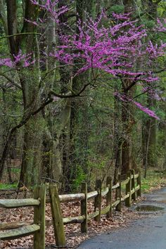 1000 ideas about redbud trees on pinterest early spring for Trees that stay small