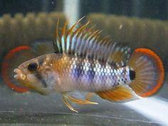 Apistogramma Inca / dwergcichlide | Aquarium vissen database | gdaquarium