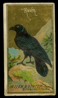 1888 Allen & Ginter Tobacco Trade Card - Birds of America - RAVEN in Collectibles, Animals, Birds, Crows & Ravens Crow Art, Bird Art, Blackbird Singing, Quoth The Raven, Birds Of America, Jackdaw, Crows Ravens, Vintage Halloween, Halloween Ideas