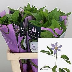 Clematis Amazing London - a seasonal flower - 2018 Wedding Trend: Ultra Violet Purple. For lilac and purple wedding flowers to suit your colour scheme, visit our website at www.trianglenursery.co.uk/fresh-flowers!